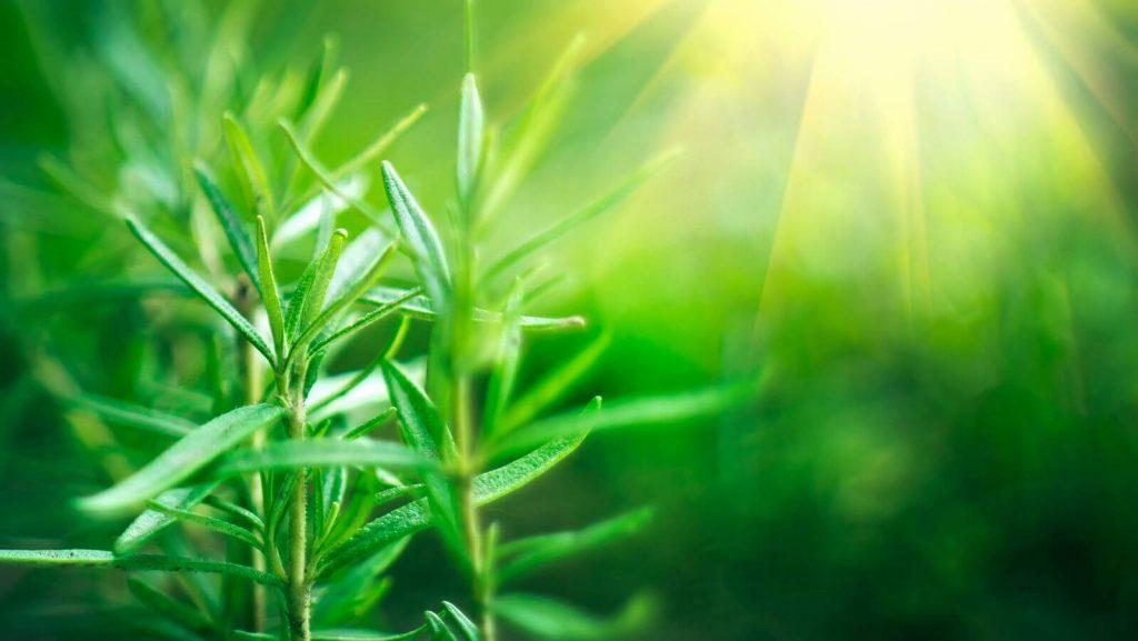 bigstock fresh rosemary herb grow outdo 246887758 1