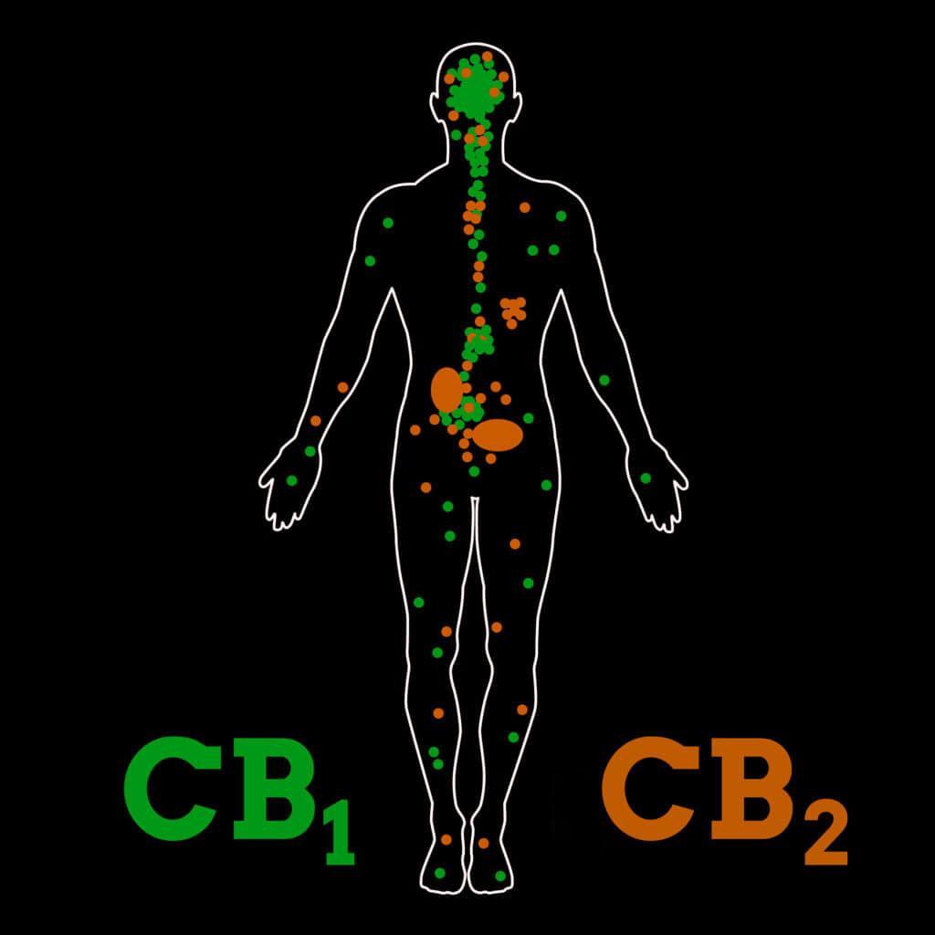 cannabinoids cb1 cb2 1024x1024 1