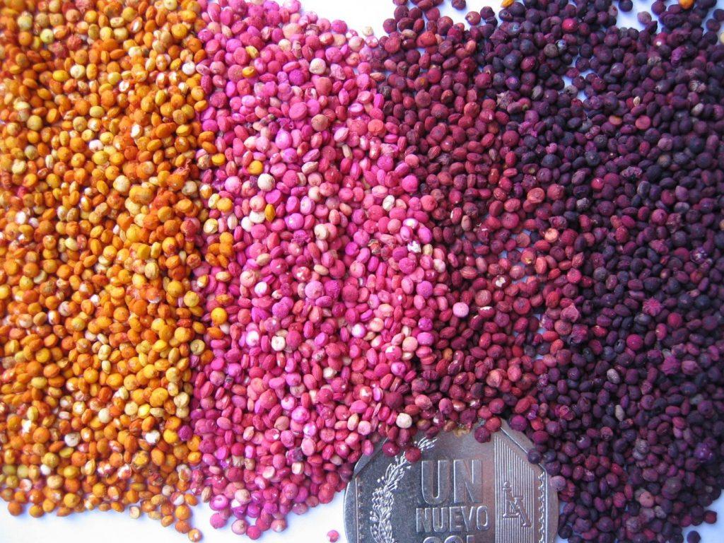 variedades de quinoa 1